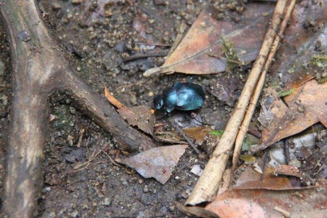 Beetle, Reserva Santa Elena, Monteverde, Costa Rica