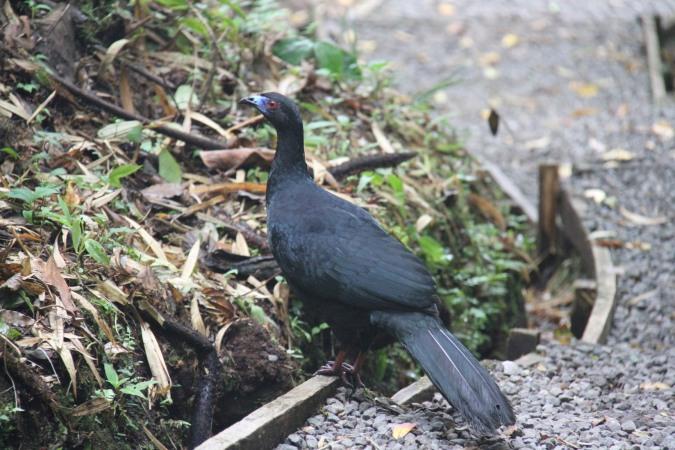 Black Guan, Reserva Santa Elena, Monteverde, Costa Rica