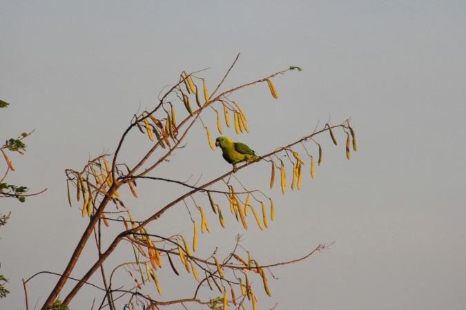 Parrot, La Cruz, Costa Rica
