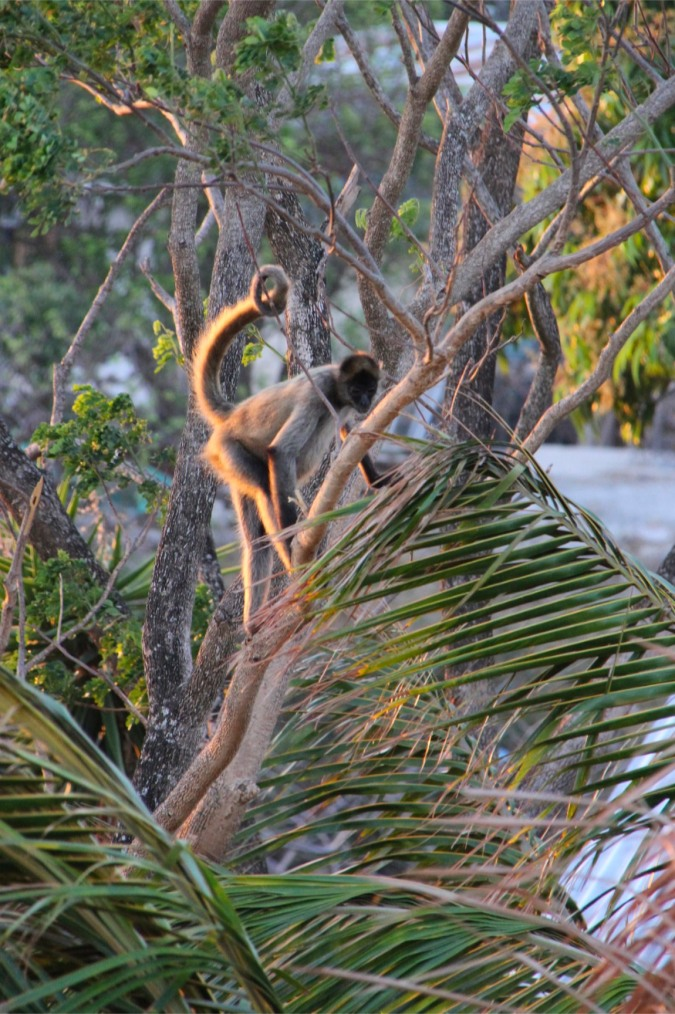 Spider Monkey, La Cruz, Costa Rica
