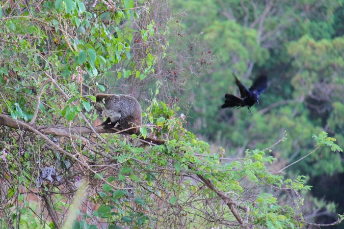 Coati, La Cruz, Costa Rica