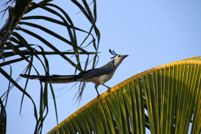 White-throated Magpie-Jay, Isla de Ometepe, Nicaragua