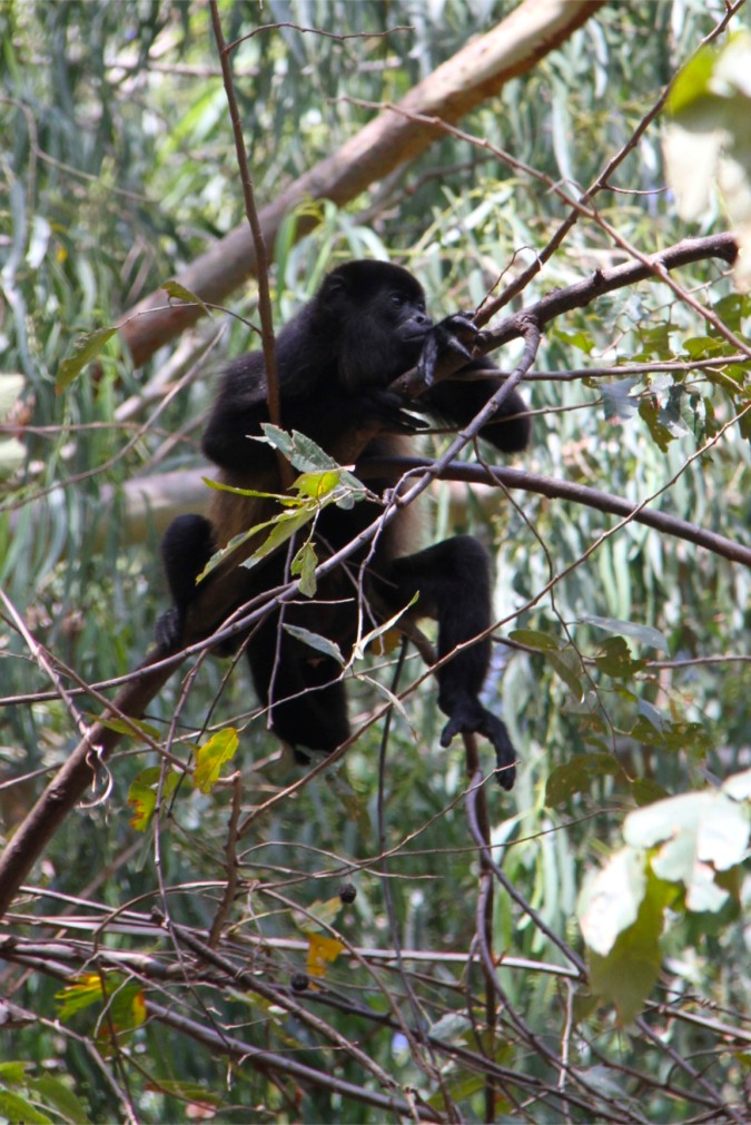Howler Monkey, Isla de Ometepe, Nicaragua