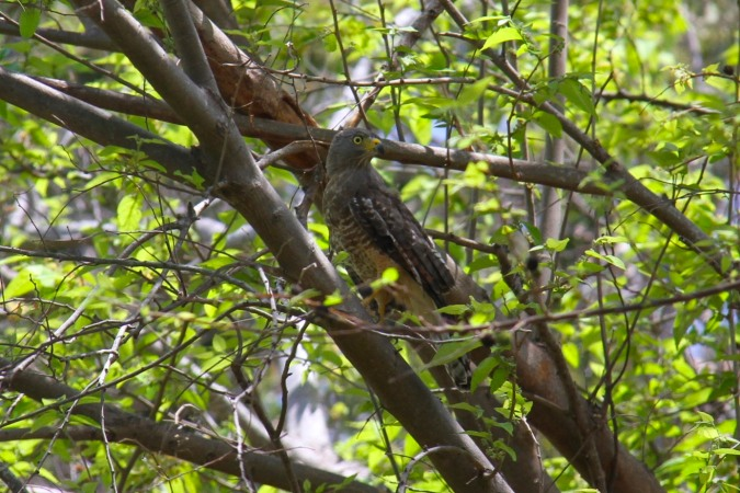 Roadside Hawk, Isla de Ometepe, Nicaragua