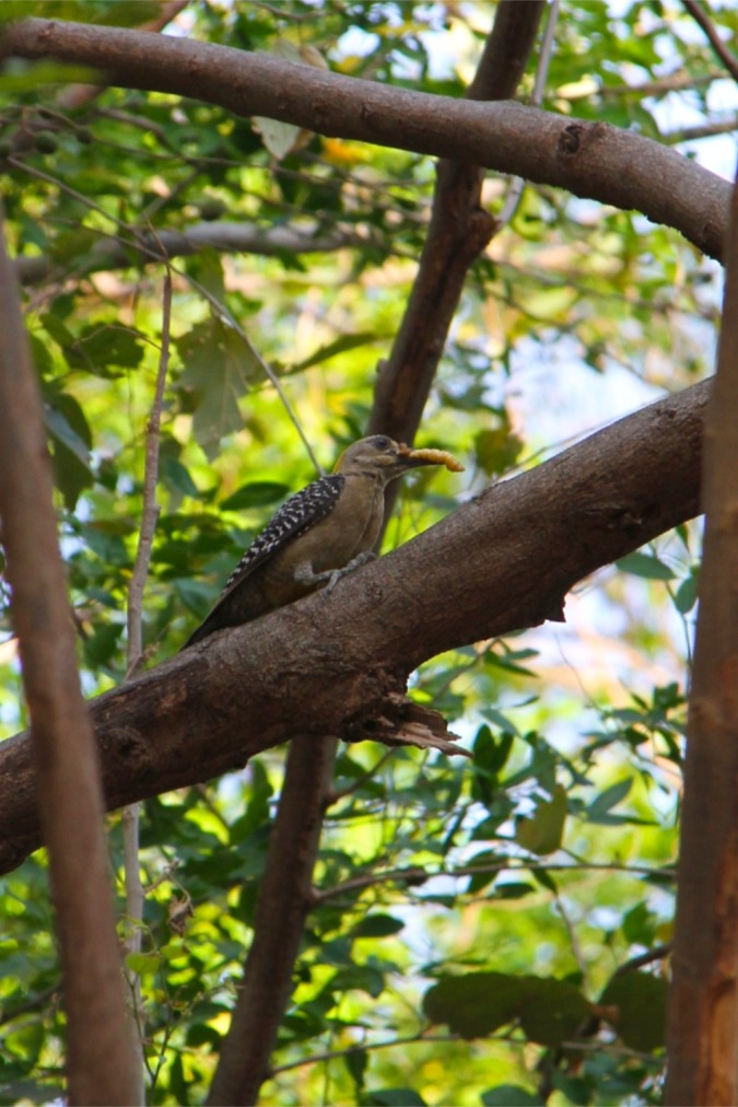 Hoffman's Woodpecker, Isla de Ometepe, Nicaragua