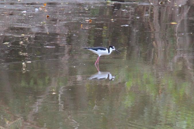 Waterbird, Isla de Ometepe, Nicaragua