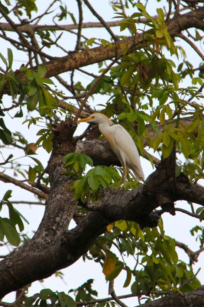 Cattle Egret, Isla de Ometepe, Nicaragua
