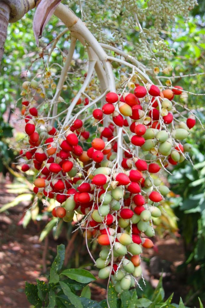 Berries, Isla de Ometepe, Nicaragua