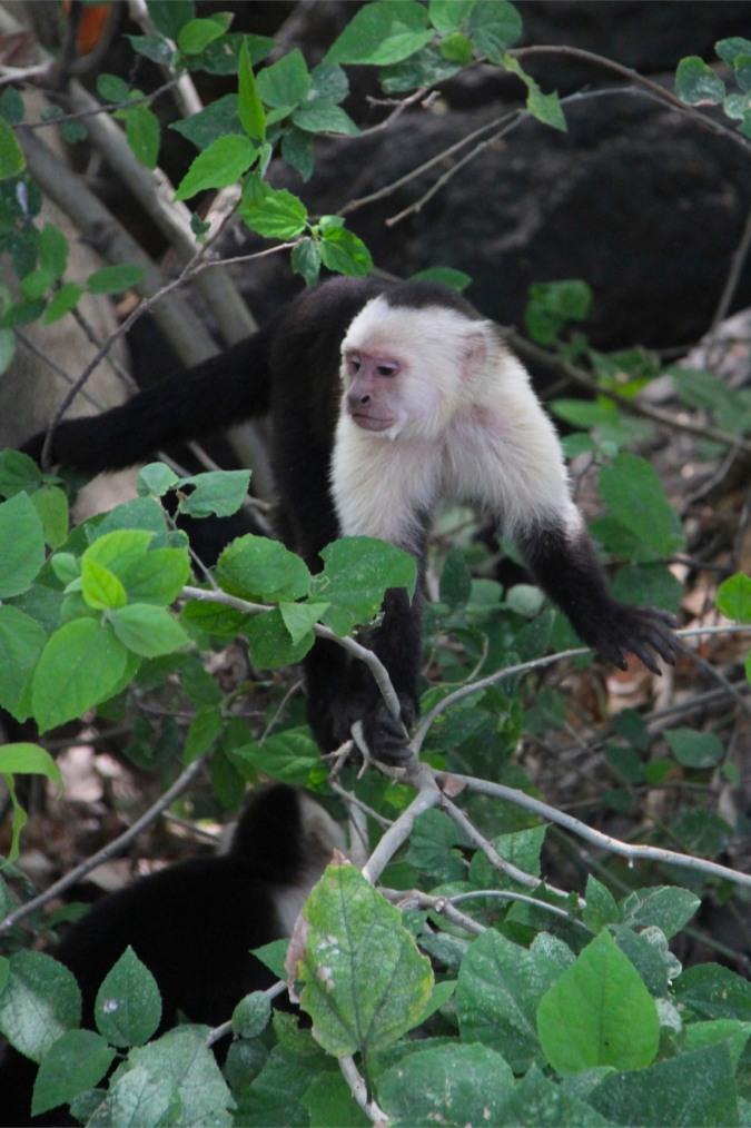 Capuchin Monkey, Isla de Ometepe, Nicaragua
