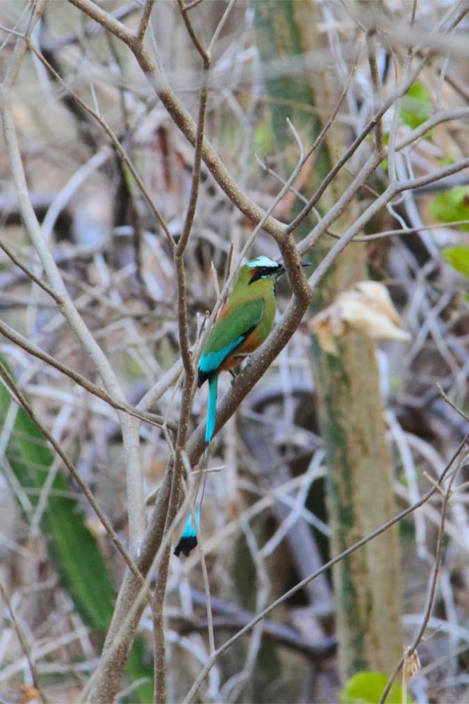 Turquoise-browed Motmot, Laguna Apoyo, Nicaragua