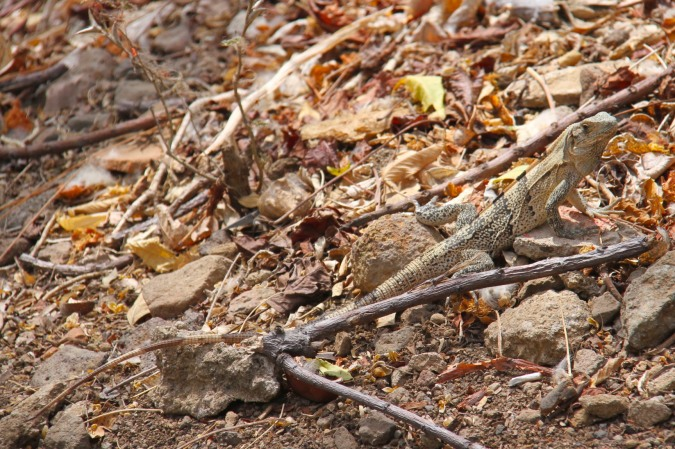 Lizard, Laguna Apoyo, Nicaragua