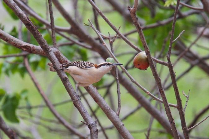 Bird eating fruit, Laguna Apoyo, Nicaragua