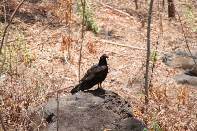 Vulture, Laguna Apoyo, Nicaragua