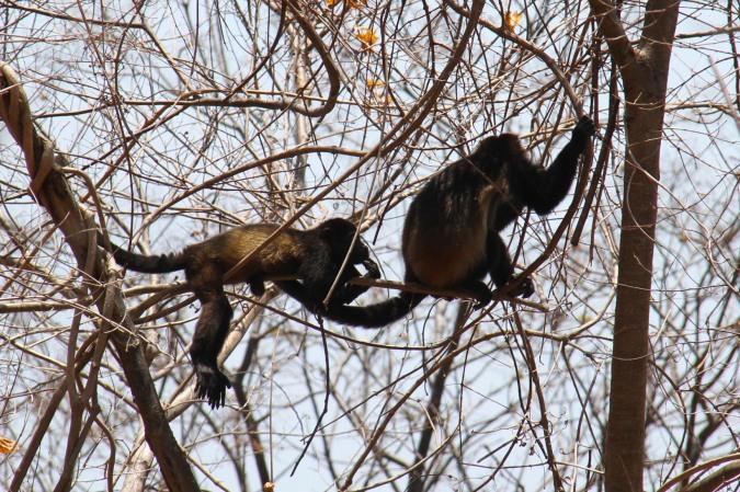Howler Monkeys, Laguna Apoyo, Nicaragua