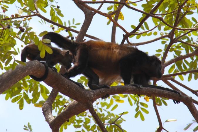 Howler Monkey, Laguna Apoyo, Nicaragua