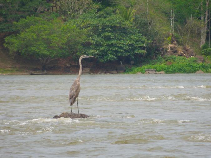 Blue Heron, Rio San Juan, Nicaragua