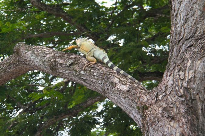 Iguana, Rio Magdalena, Colombia