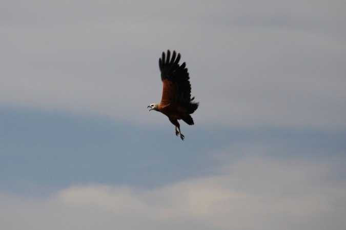 Eagle on the Rio Magdalena, Colombia