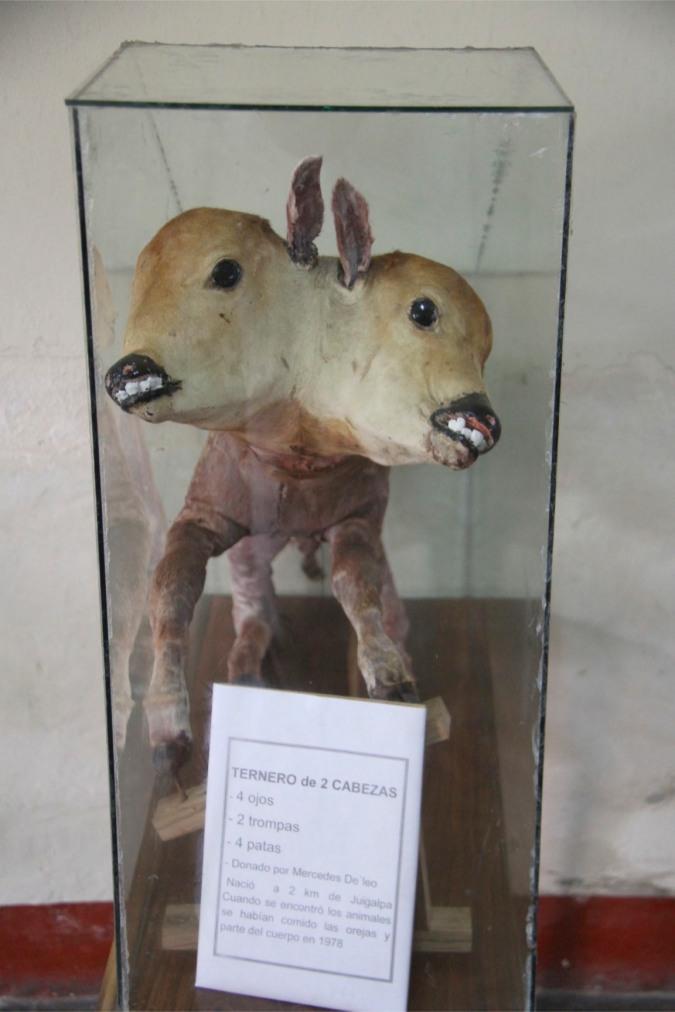 Two-headed cow, Juigalpa, Nicaragua