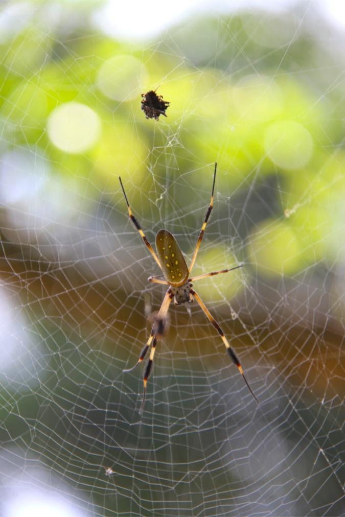 Golden Orb Spider, Reserva Biologica Indio-Maiz, Nicaragua