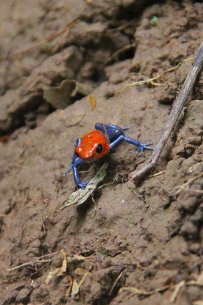 Poison Dart Frog, Reserva Biologica Indio-Maiz, Nicaragua