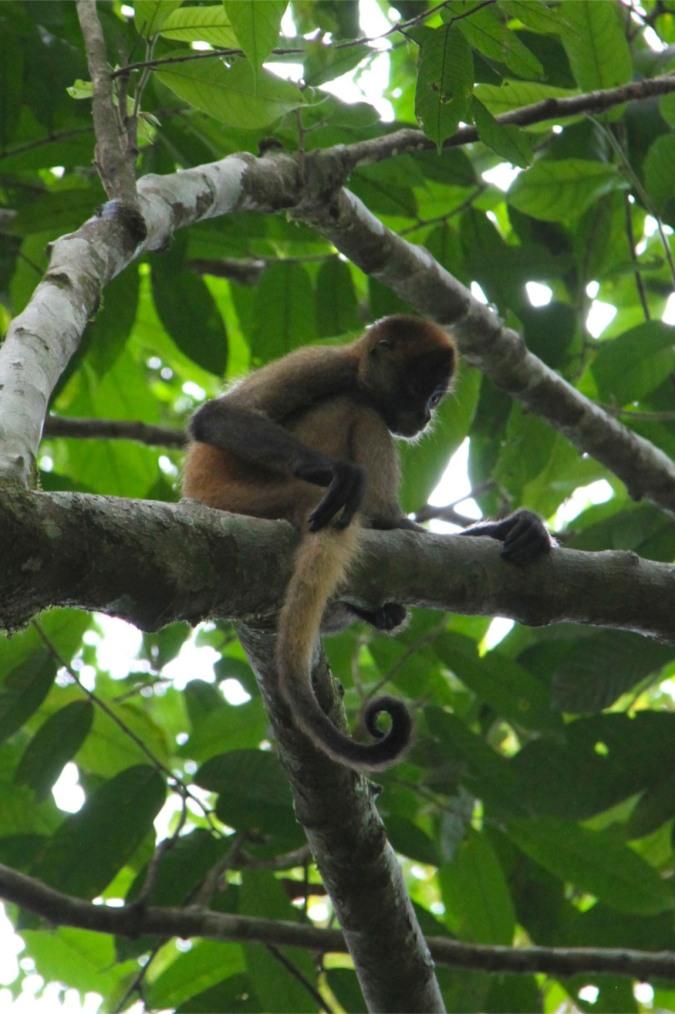 Spider Monkey, Reserva Biologica Indio-Maiz, Nicaragua