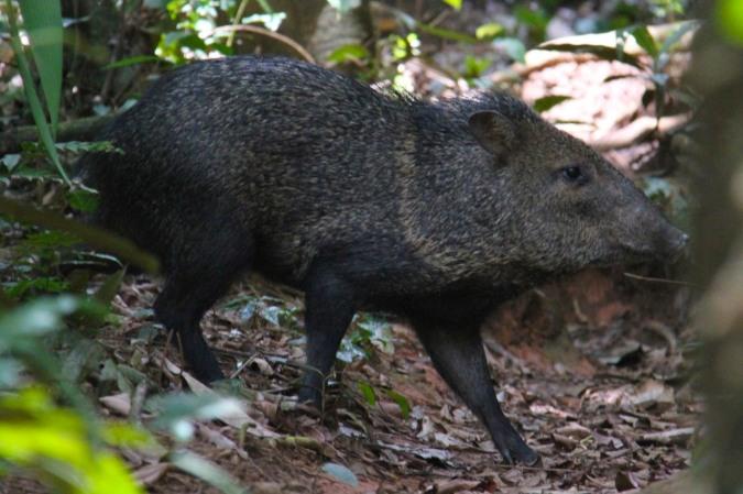 Collared Peccary, Reserva Biologica Indio-Maiz, Nicaragua