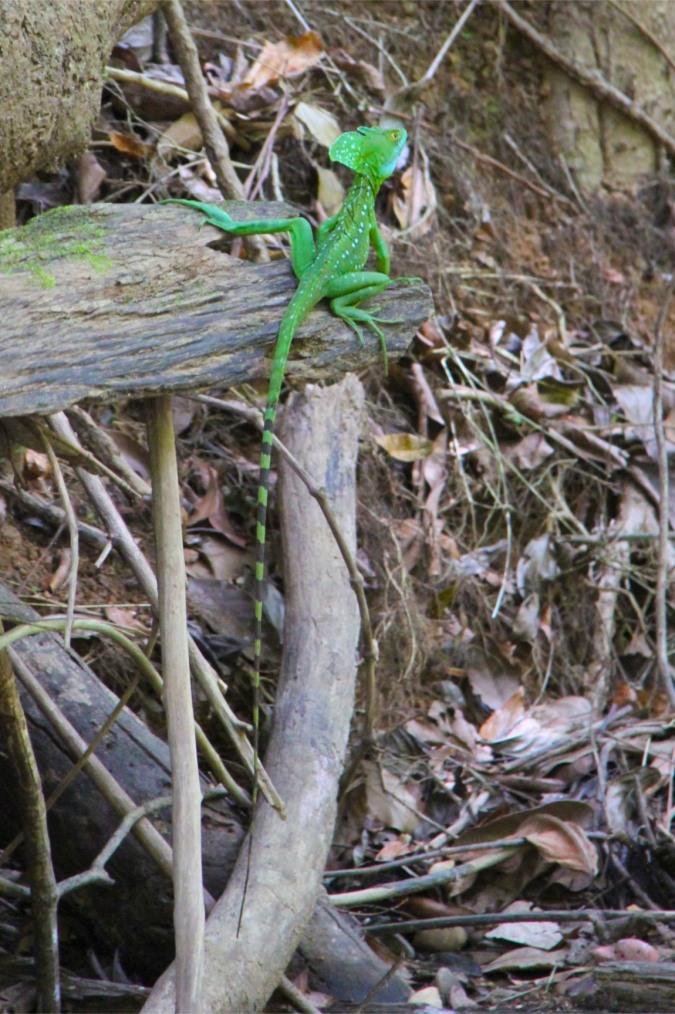 Green Basilisk, Rio San Juan, Nicaragua