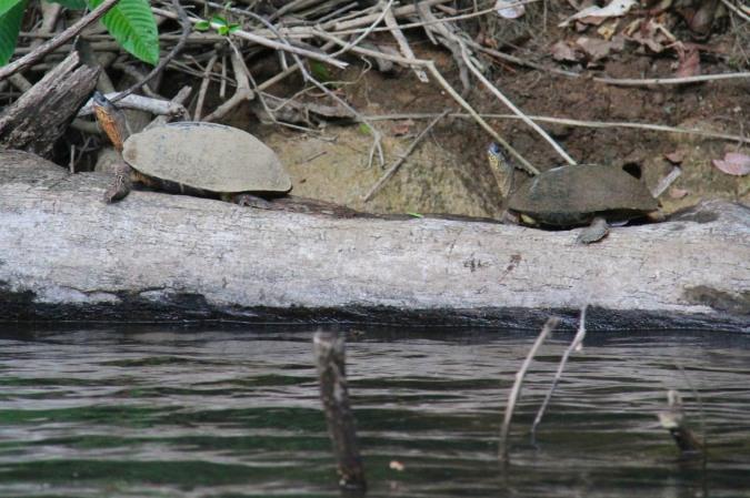 Turtles, Reserva Biologica Indio-Maiz, Nicaragua