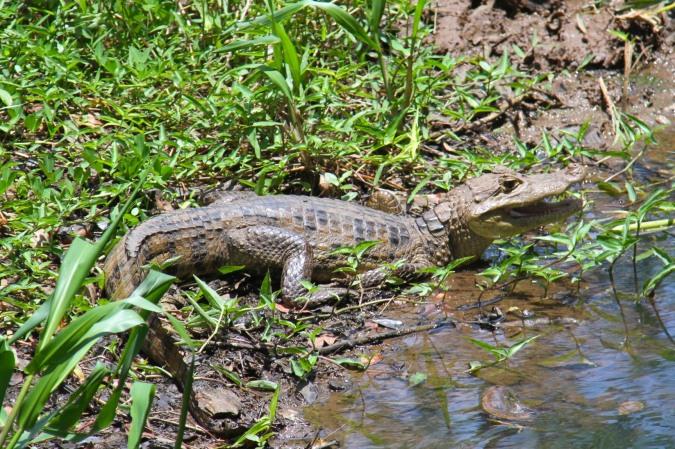 Alligator, Reserva Biologica Indio-Maiz, Nicaragua