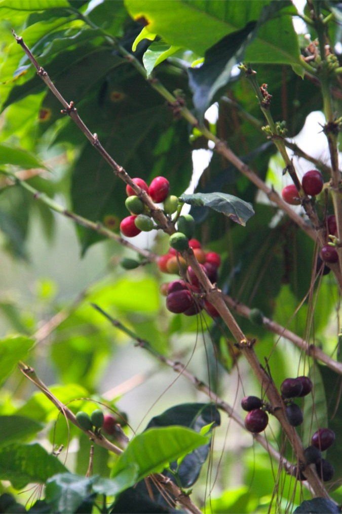 Coffee beans in the countryside around Boquete, Panama