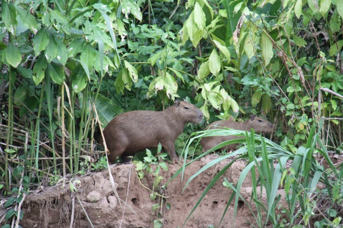 Capybara, Madidi National Park, Amazon, Bolivia