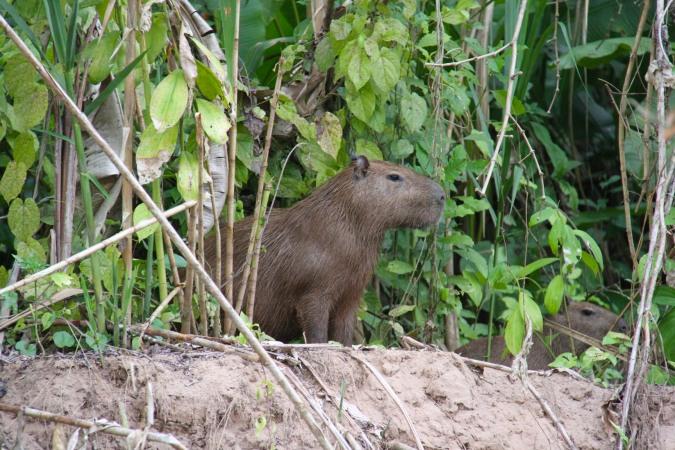 Capybara, Madidi National Park, Bolivia