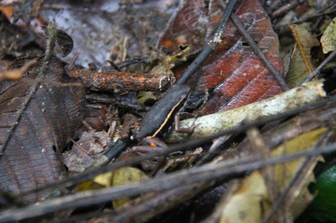 Poison dart frog, Madidi National Park, Bolivia