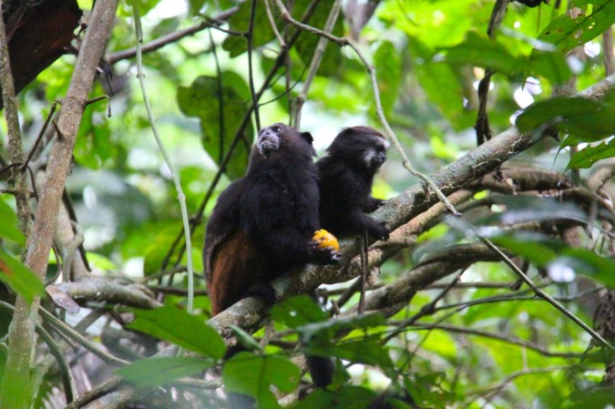 Tamarin monkey with baby, Madidi National Park, Bolivia
