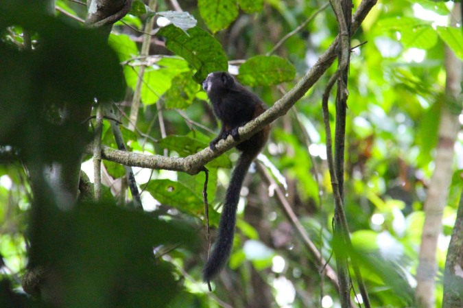 Tamarin monkey, Madidi National Park, Bolivia