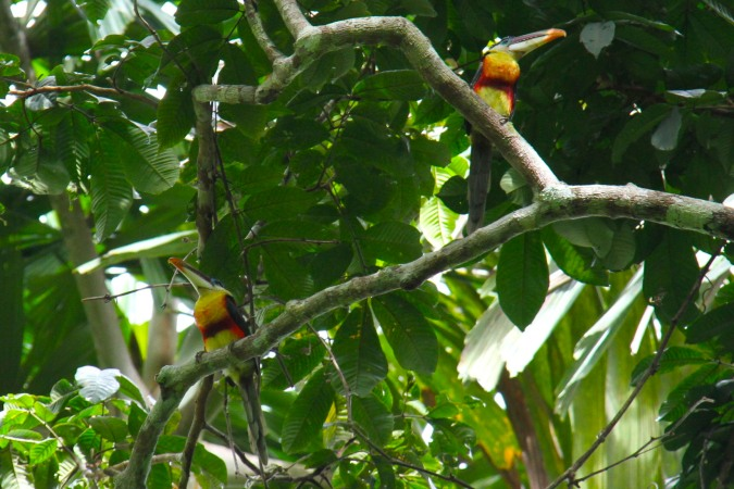 Toucans, Madidi National Park, Bolivia