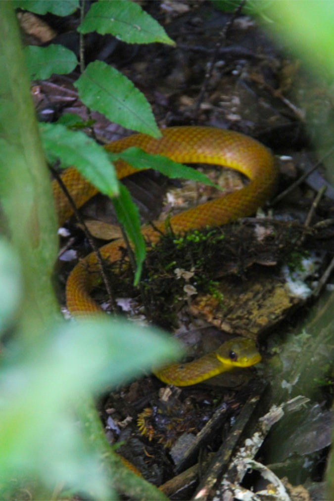A brown and yellow snake, Madidi National Park, Bolivia
