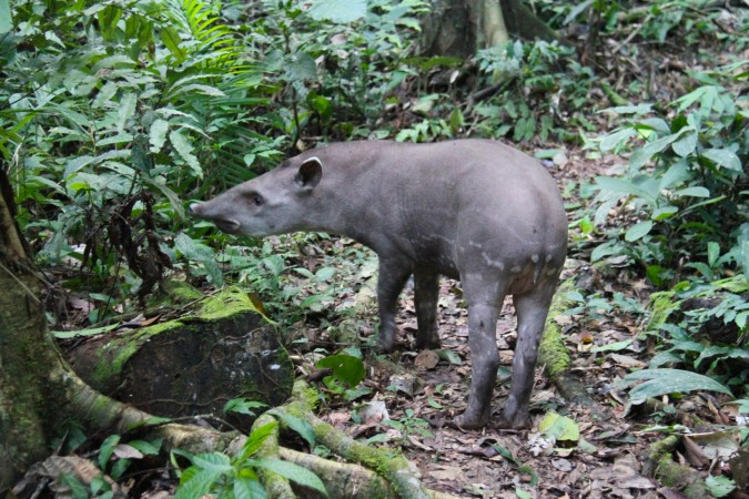 Tapir, Madidi National Park, Bolivia