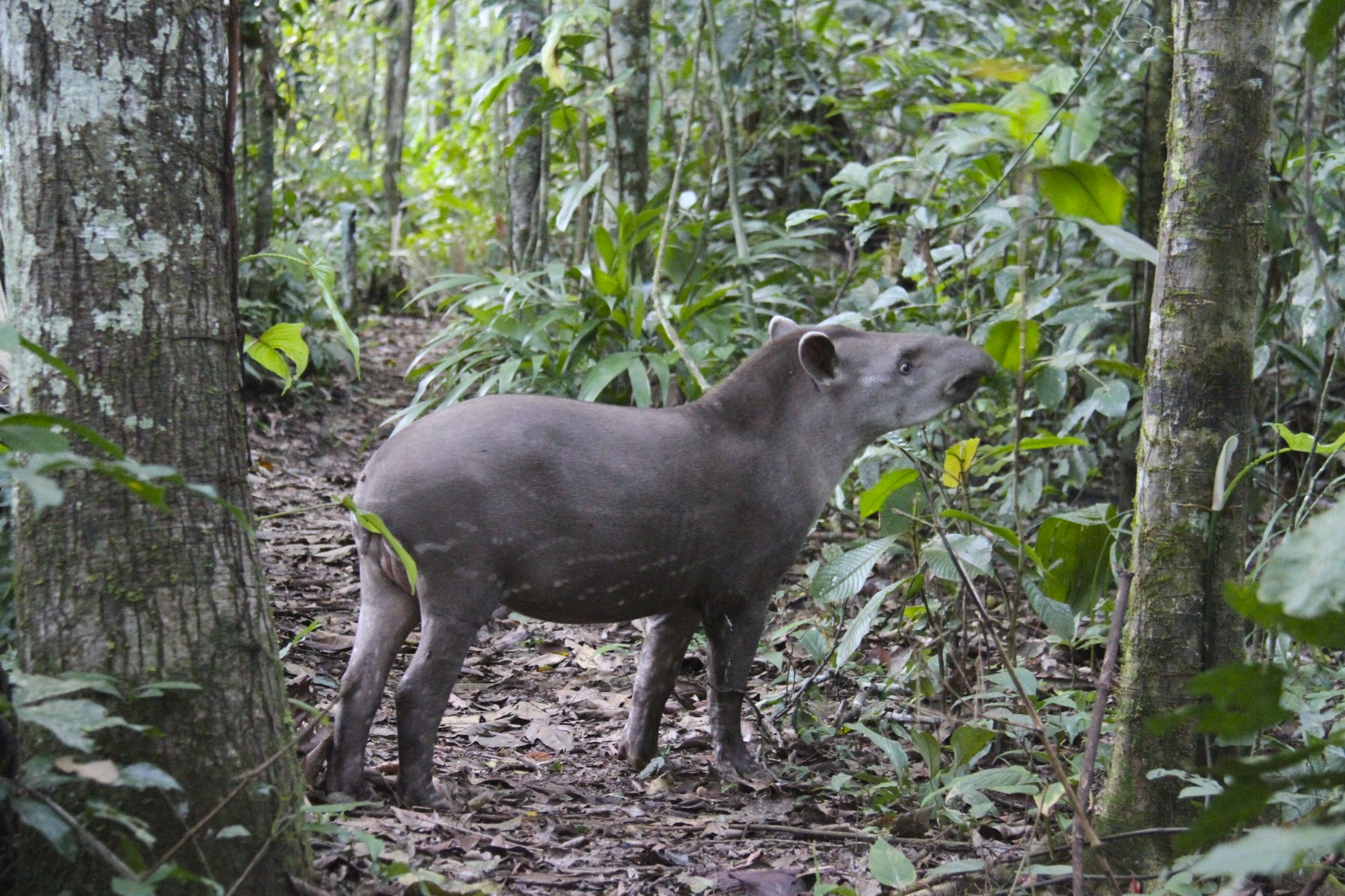 Amazon rainforest photos South American Tapir Tapirus