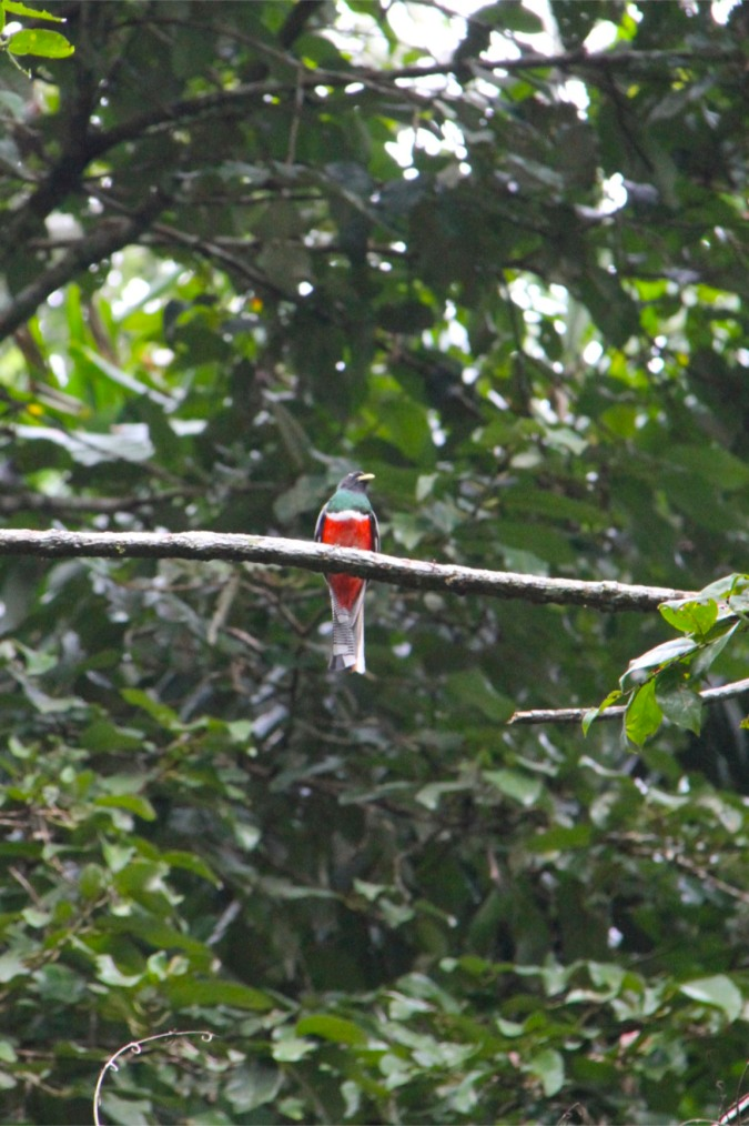 Red-bellied Trogon, Madidi National Park, Bolivia