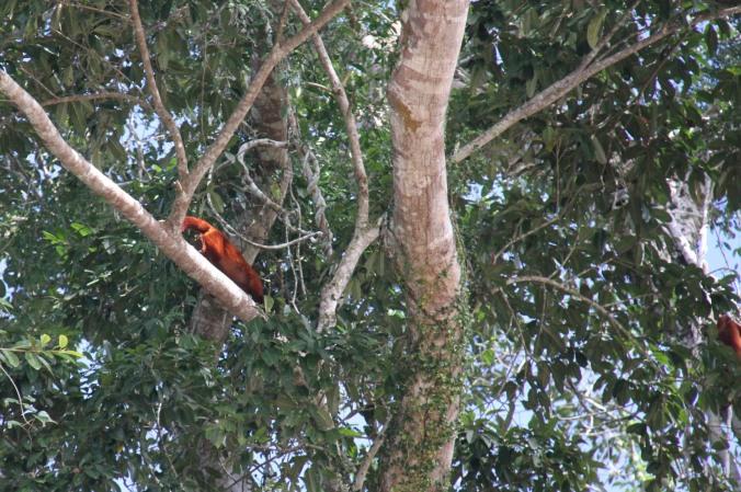 Holwer monkeys, Rio Tuichi, Amazon, Bolivia