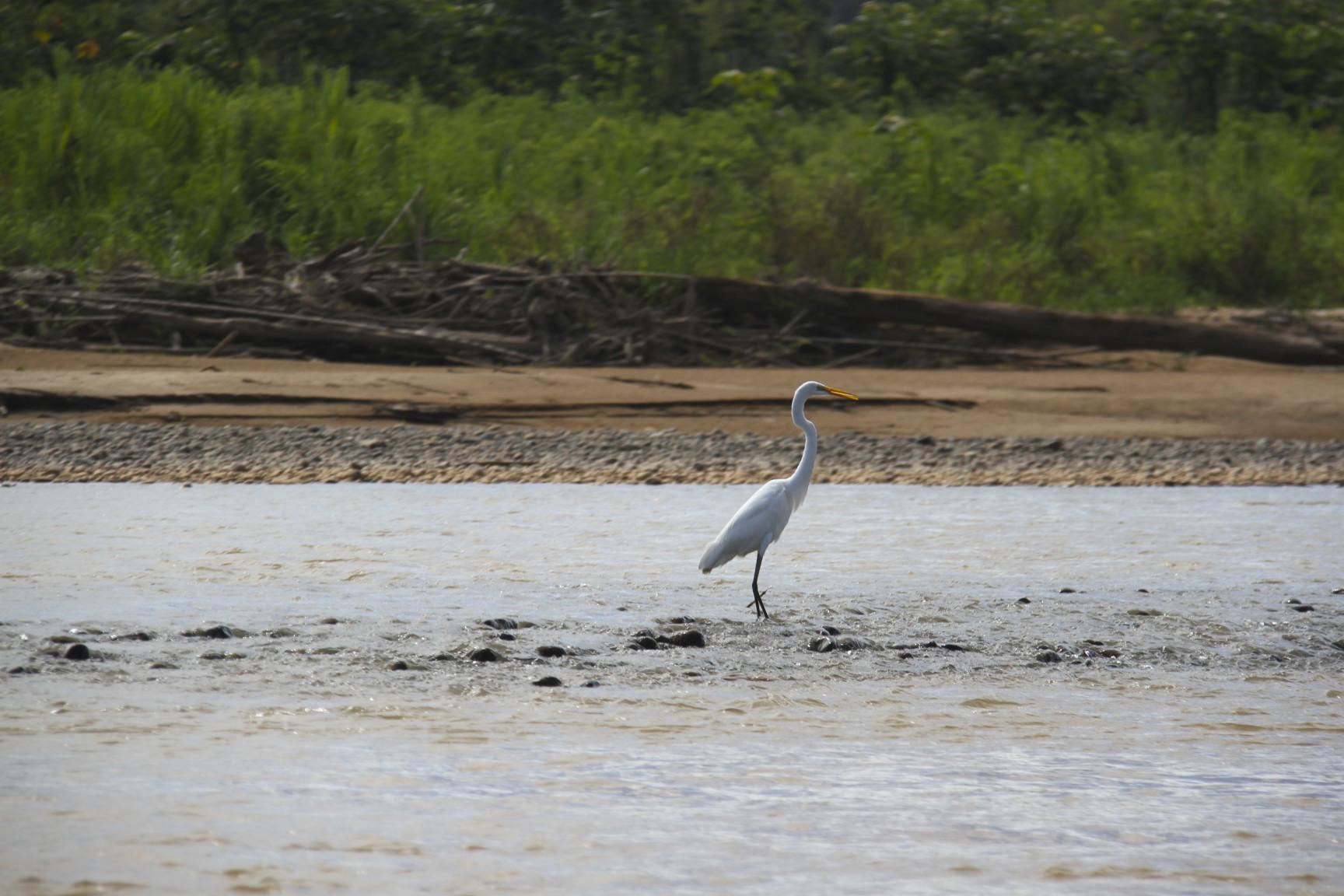 Crane, Rio Beni, Amazon, Bolivia