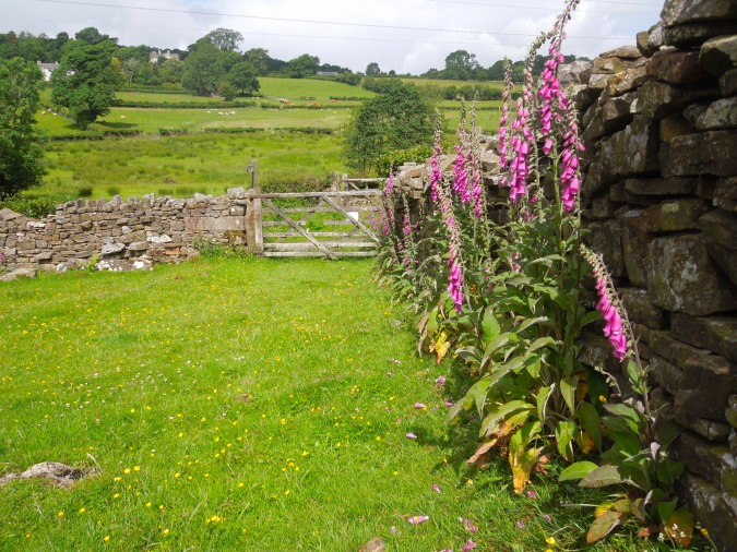 Foxgloves and gate, near Kirkby Lonsdale, Cumbria, England