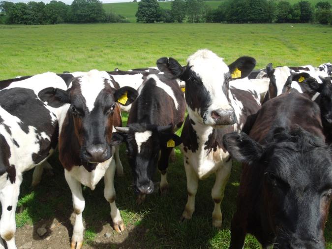 Bullocks near Arkholme, Lancashire, England