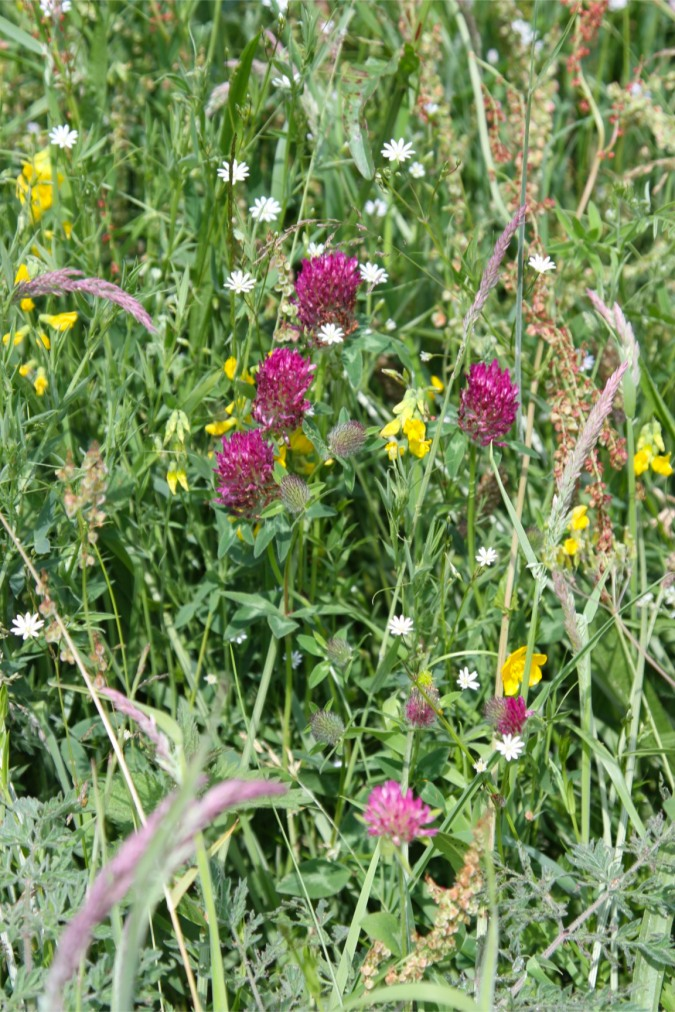 Red clover, Lancaster Canal, Cumbria, England