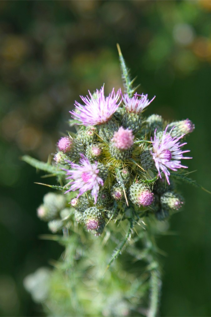 Scotch thistle, Lancaster Canal, Cumbria, England