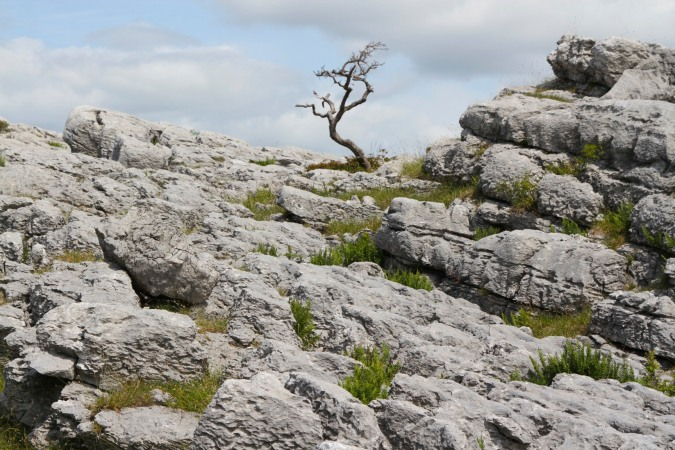Limestone paving and tree, Farleton Knott, Cumbria, England