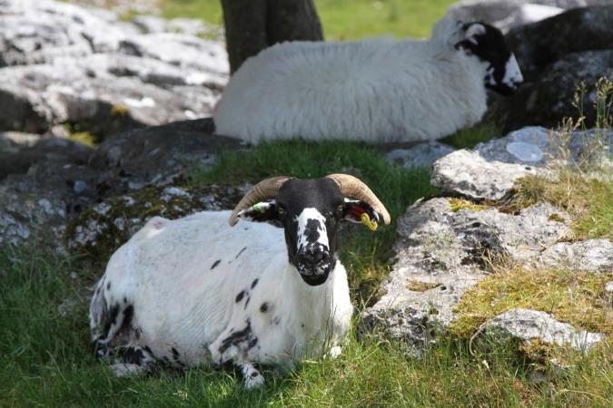 Herdwick sheep, Farleton Knott, Cumbria, England