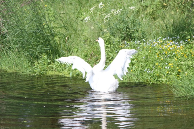 A swan on the Lancaster Canal near Home, Cumbria, England